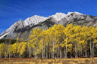 Bow_Valley_Aspens_600
